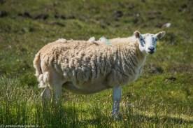 Owca - okolice Kalnakill