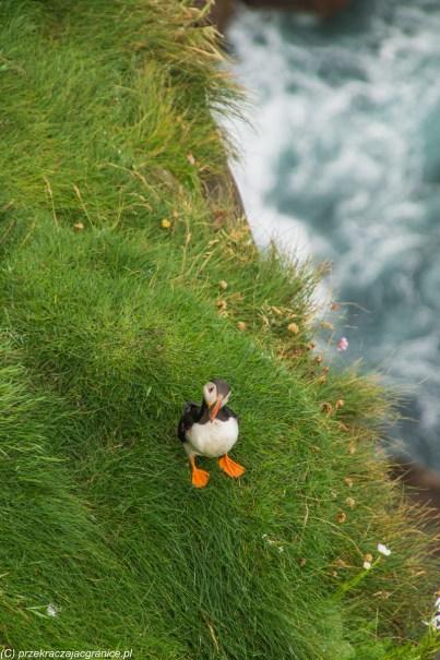 ptak maskonur wybrzeże szkocja