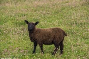 Dzień na North Coast 500 - czarna owca