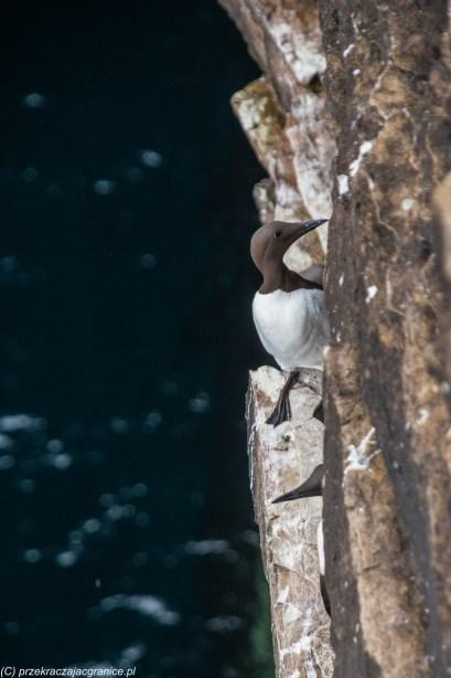Guillemot na skałach Duncansby Head