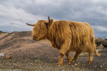 Krowa szkocka - okolice Strathy