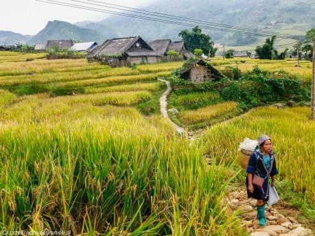 północny wietnam - sa pa kobieta na polu ryżowym