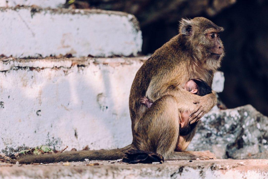 Małpy wjaskiniach Hpa-An