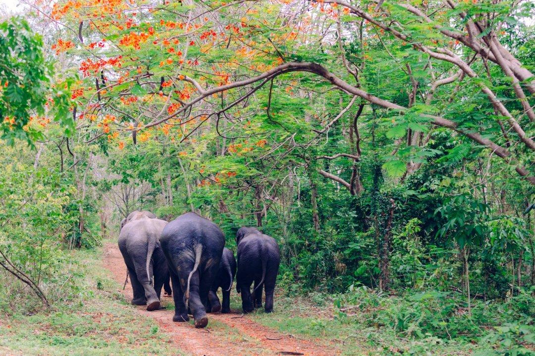 Na szczęście niewszystkie słonie wTajlandii wiodą taki smutny żywot. Raz, zupełnym przypadkiem, wjechaliśmy dorezerwatu, wktórymschronienie znalazło kilkanaście słoni. Niebyło tu turystów, asłonie przechadzały się podżungli. Mamy nadzieję, żetomiejsce niekryje żadnych mrocznych sekretów.
