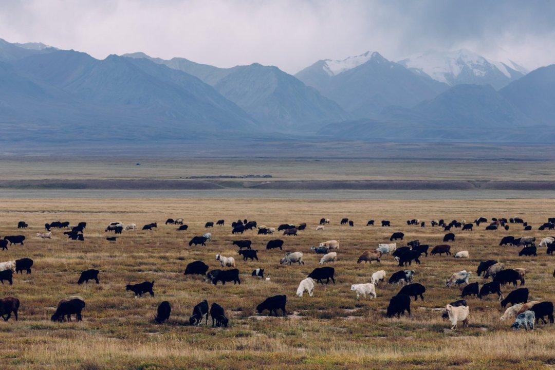 Pilnowanie stada owiec ikóz togłówne zajęcie dzieciaków zjurt rozrzuconych gdzieś porubieżach Kirgistanu.