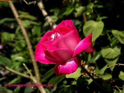 "Róża ""Gloria Dei"""