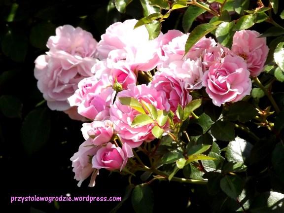 """Róża """"Queen Elizabeth"""""""