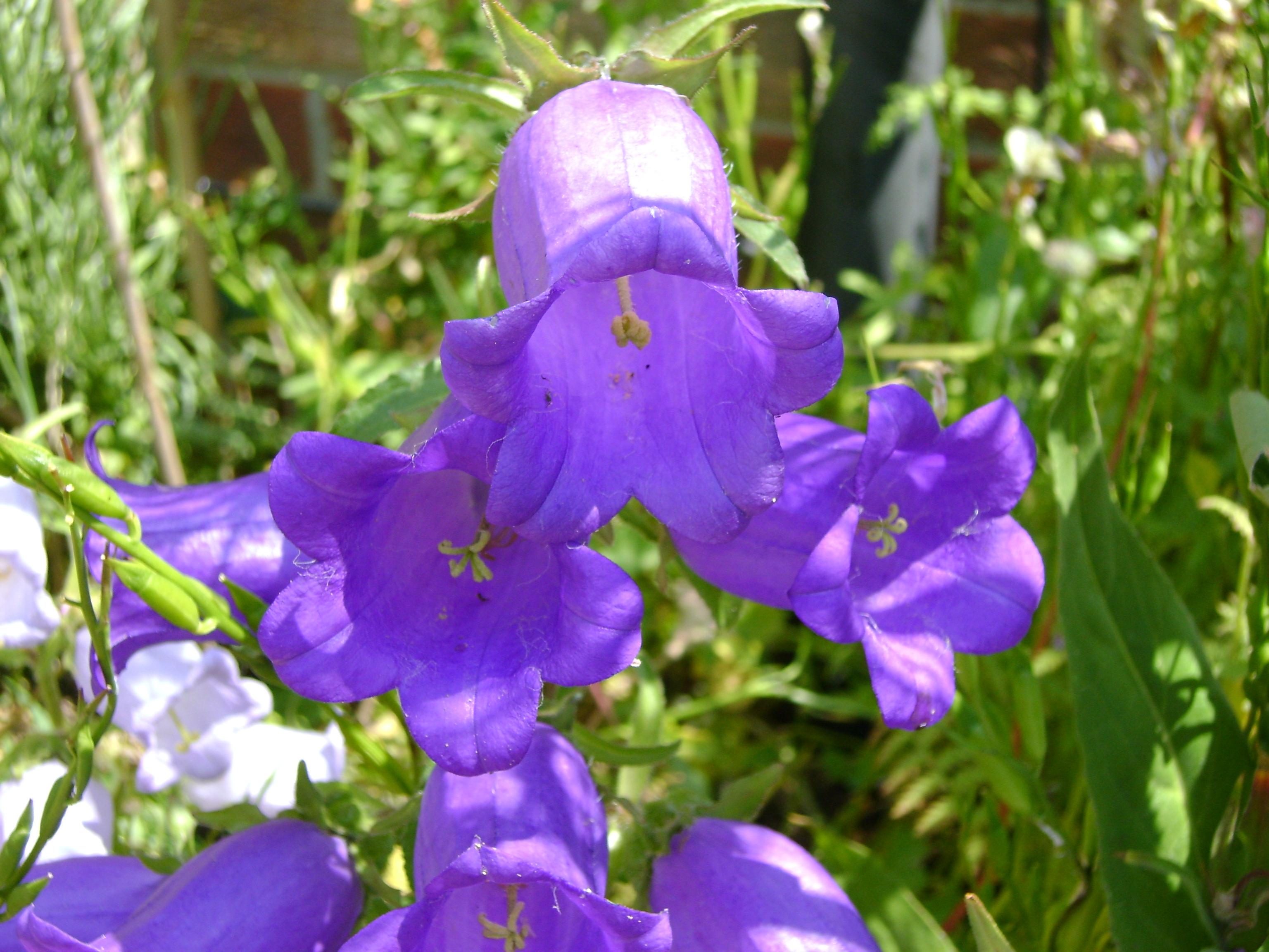 Dark Purple Bells
