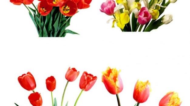 beam beam tulips