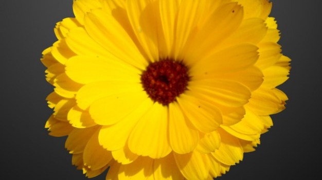 Beautiful yellow sunflower PSD