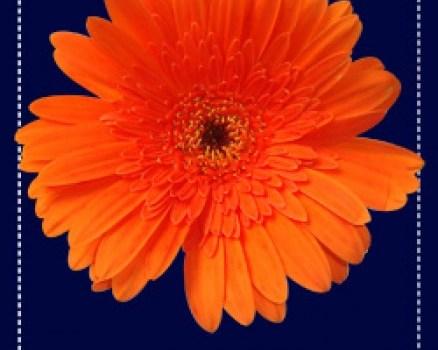 Orange flower petal psd