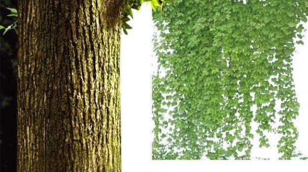 rattan plant psd material