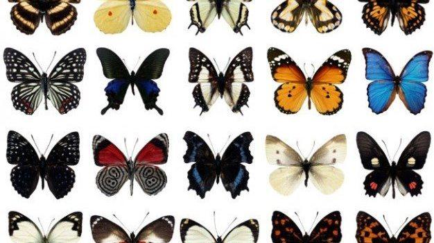 species of butterflies psd layered high definition