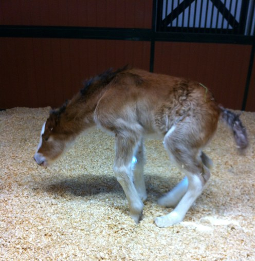 Only days old, one of the mares tests out his new legs.