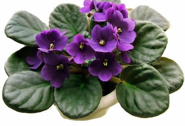 A persistência da violeta