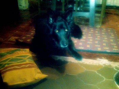 yaiza, mi perra pastor belga