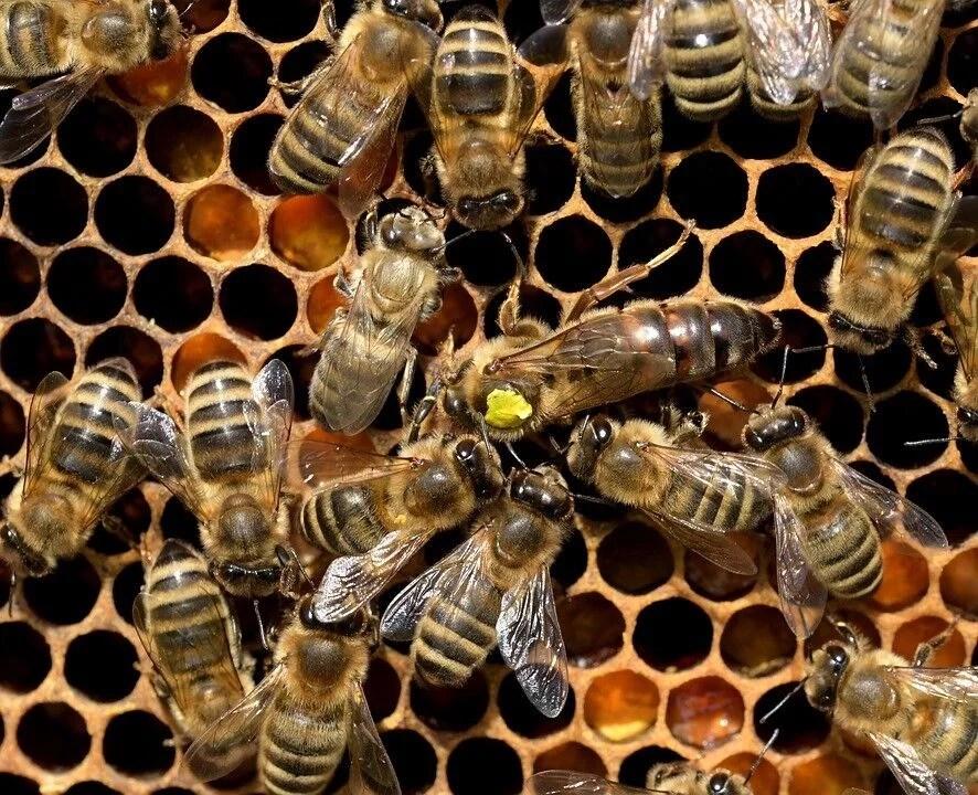 Síndrome de la abeja reina