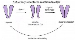 REFUERZO Y RECEPTORES NICOTINA