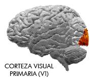 corteza_visual_primariajpg