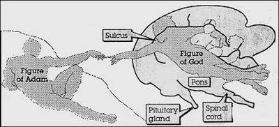 creacion-adan-cerebro