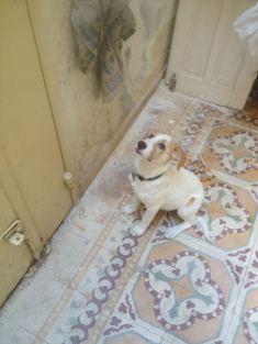 shiagood-dog