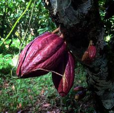 cacao-pod-on-tree-dark