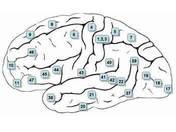 Cerebro con áreas de Brodmann