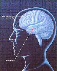 Amygdala-y-cortex-prefrontal_thumb
