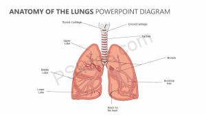 Anatomy of the Lungs PowerPoint Diagram | PSlides