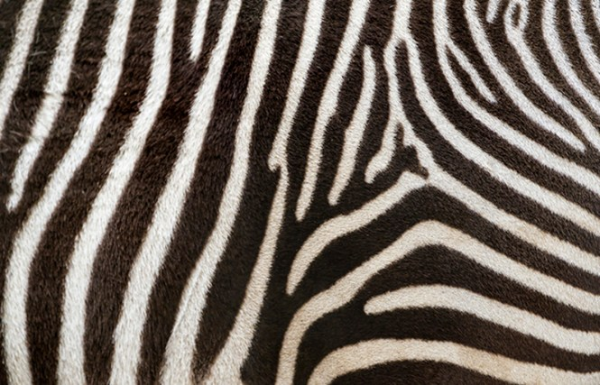 Purpose Of Zebra Stripes - Best Zebra 2018