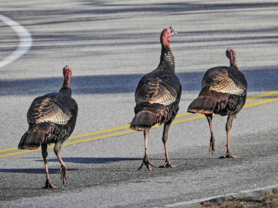 Turkeys in the road