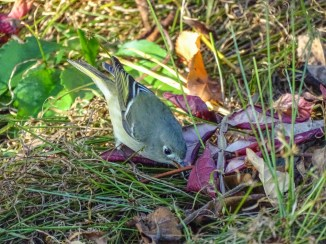 Ruby-crowned Kinglet 2000