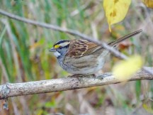 White-throated Sparrow 3200