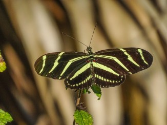 Zebra Longwing, Everglades NP