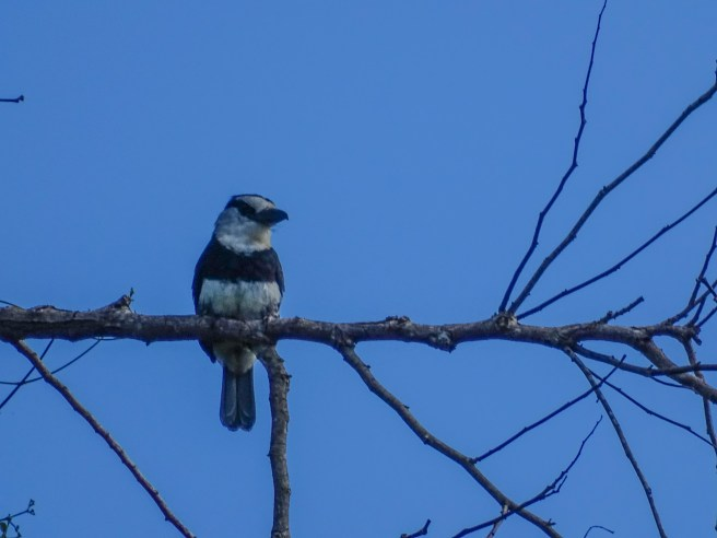White-collared Puffbird, Cuero y Salado Wildlife Refuge