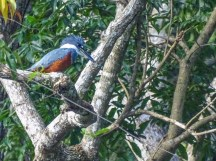 Ringed Kingfisher, Cuero y Salado Wildlife Refuge