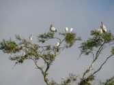 Wood Storks and Egrets