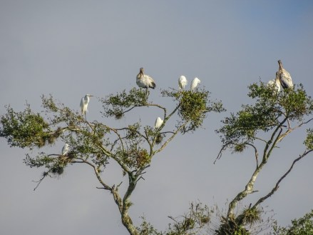 Wood Storks and Egrets