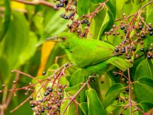 Green Honeycreeper (f), Tranquilo Bay Lodge, Panama