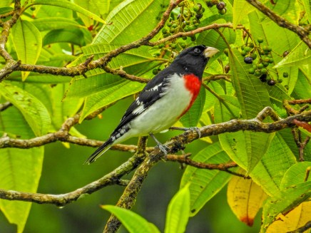 Rose-breasted Grosbeak, Tranquilo Bay Lodge, Panama