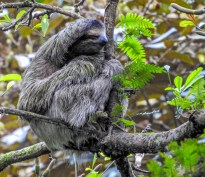 Three-toed Sloth, Green Acres Chocolate Farm, Bocas del Toro, Panama