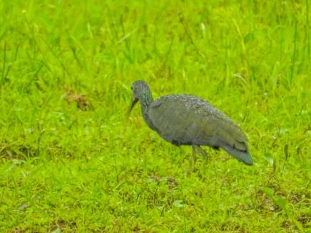 Green Ibis, Punte Peña, Panama