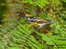 Chestnut-sided Warbler, Reserva Forestal De Fortuna, Panama