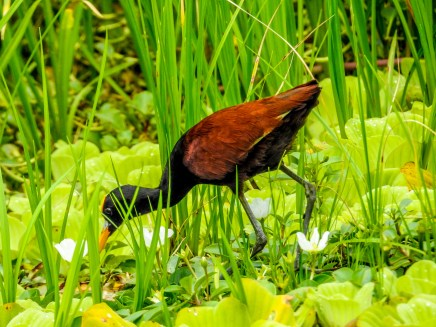 Northern Jacana, Snyder Canal, Changuinola Panama