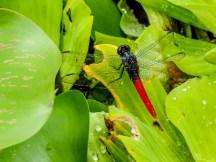 Dragonfly, Snyder Canal, Changuinola Panama