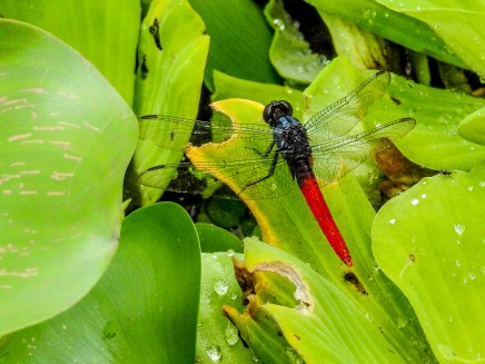 Dragonfly, Snyder Canal, Changuinola Panama