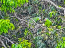 Red-lored Parrots, Tranquilo Bay Lodge, Panama