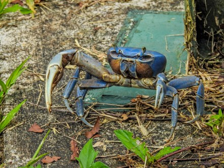 Blue Land-crab, Tranquilo Bay Lodge, Panama