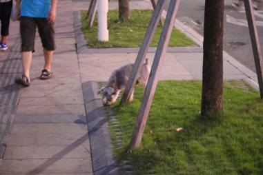 Off leash Schnauzer roams the streets of Futian with his owner