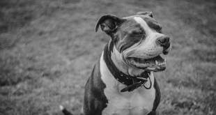 Abandon the Bans on Pit Bulls
